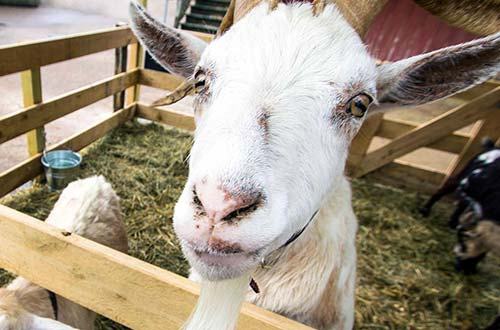 Peppermint Patty's Petting Zoo at Dorney Park's Halloween Event